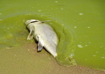 algae-problem-1