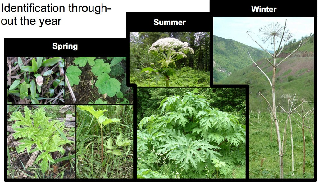 gian-hogweed-throughout-the-year