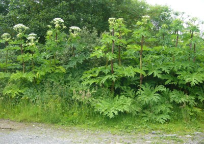 giant-hogweed-invasive-plant-2