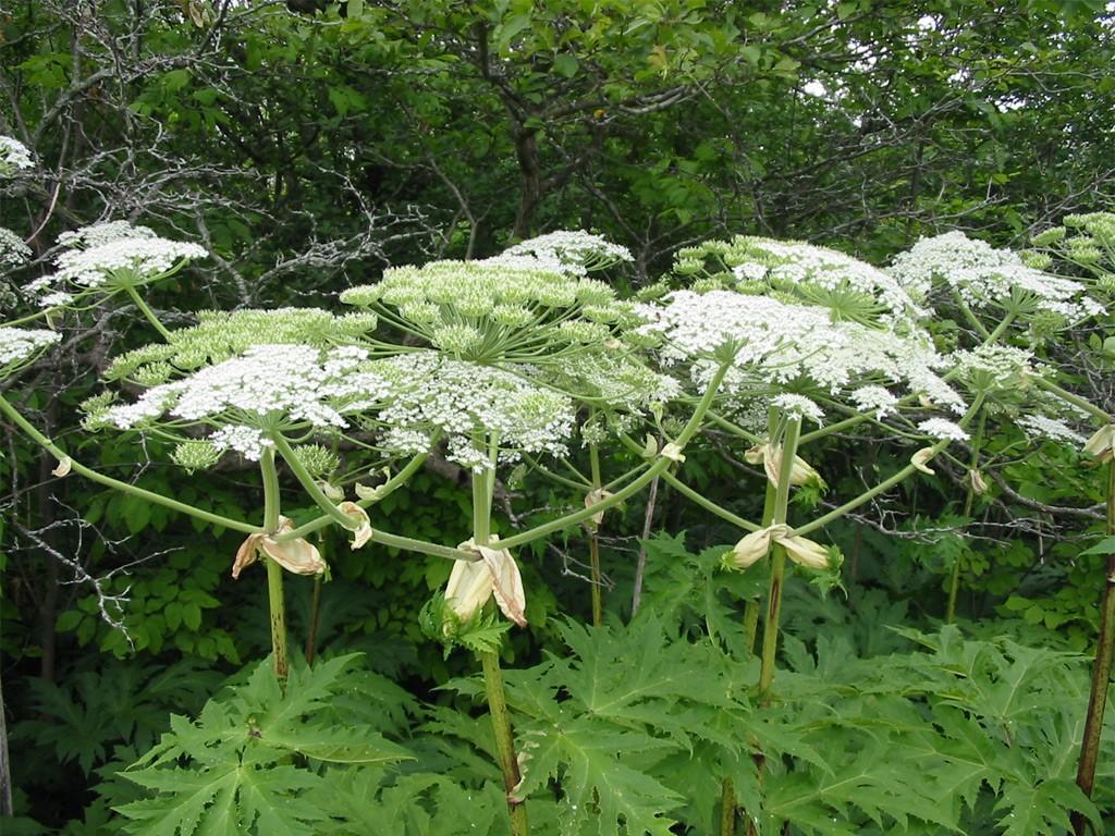Giant Hogweed Invas Biosecurity Ireland
