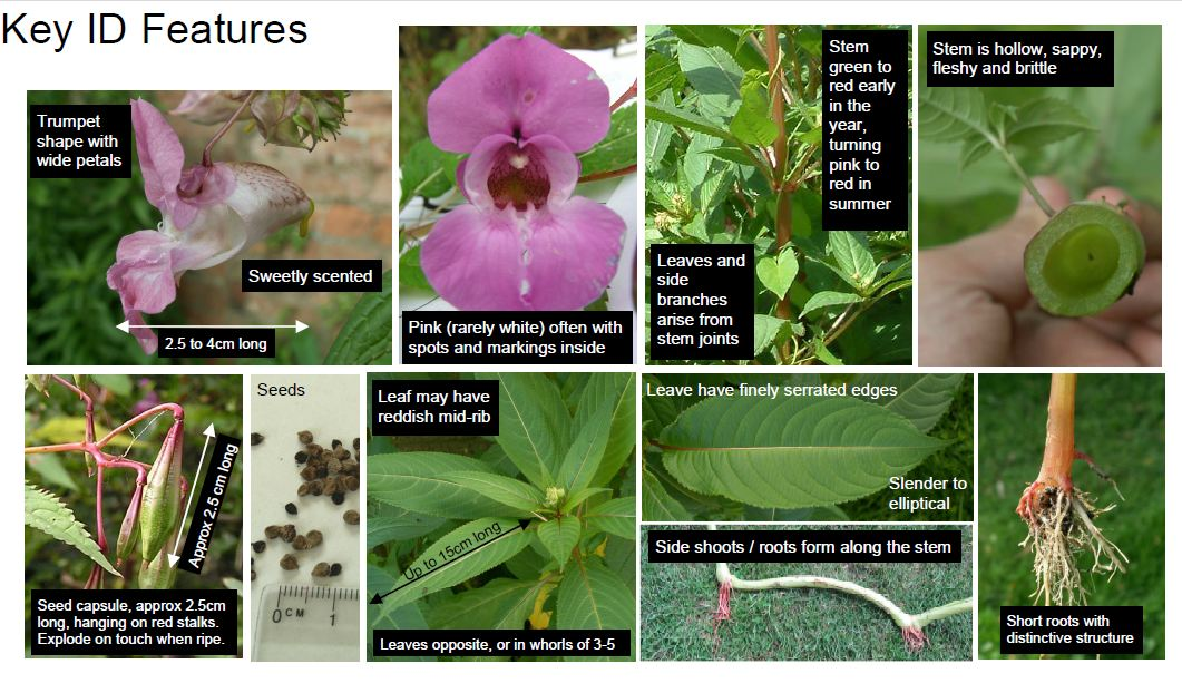 himalayan-balsam-key-id-features