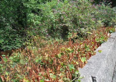 japanese-knotweed-after-treatment1