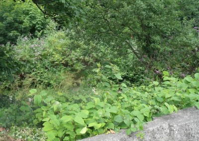 japanese-knotweed-before-treatment1