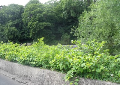 japanese-knotweed-before-treatment3