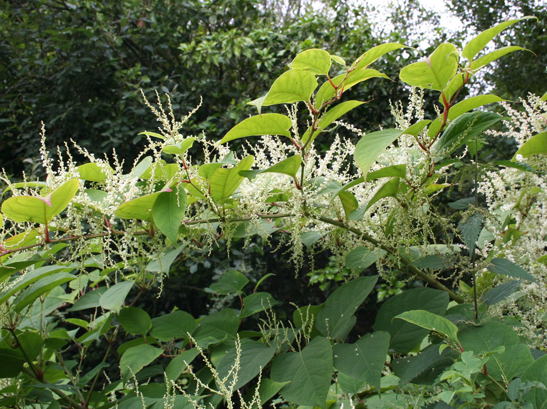 Japanese knotweed removal invas biosecurity specialists for Japanese garden flowering plants