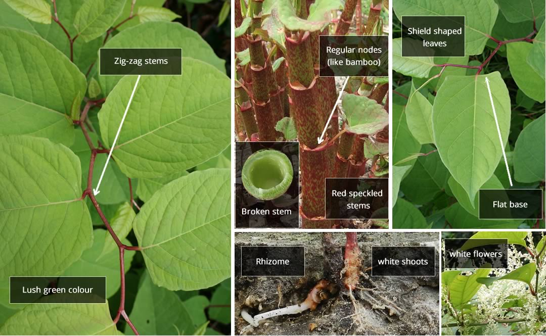 japanese knotweed key features identification