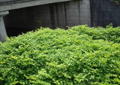 japanese-knotweed-under-bridge