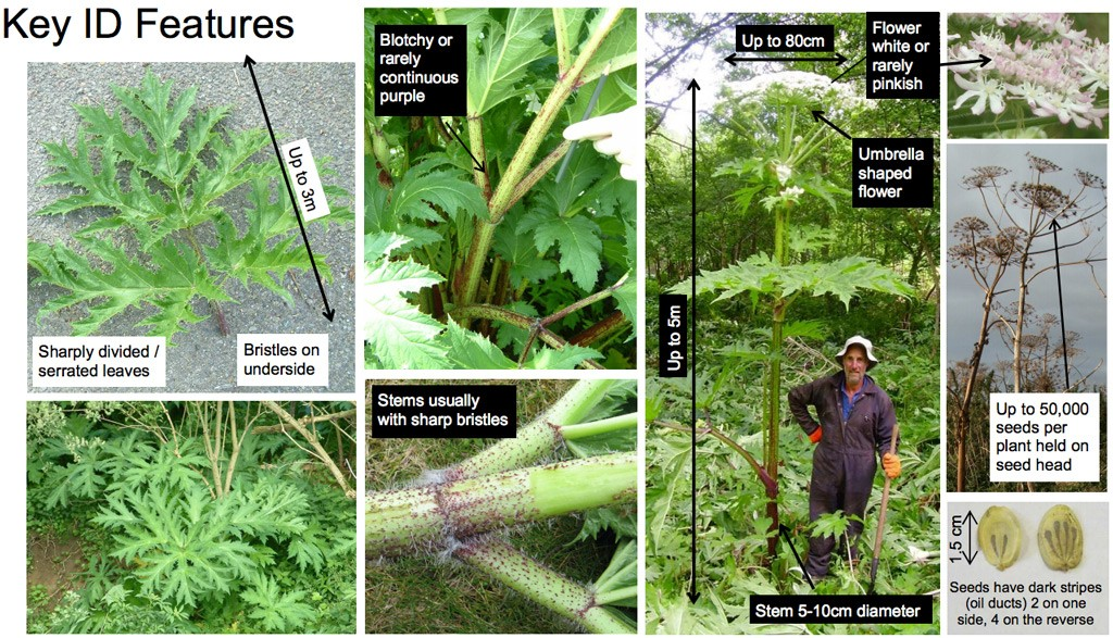 gian-hogweed-id-features