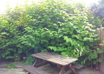 japanes knotweed in private property