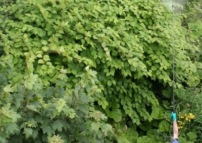 ong lance being used to spray japanese knotweed