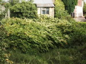 japanese knotweed on private property