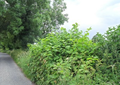 japanese knotweed - side of the road