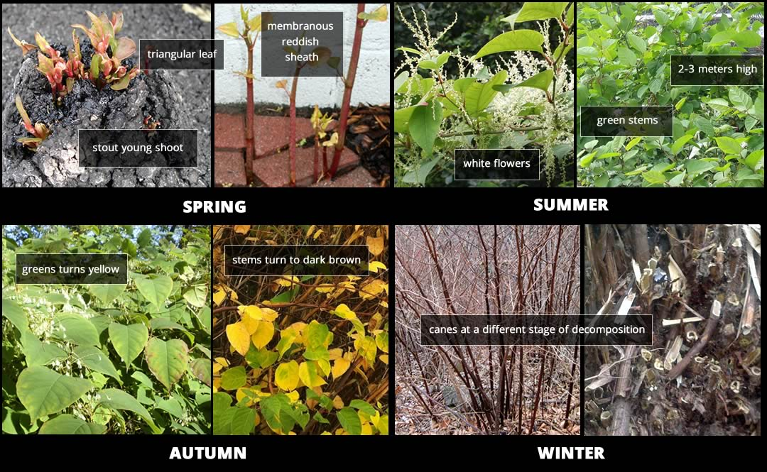 japanese knotweed throughout the year